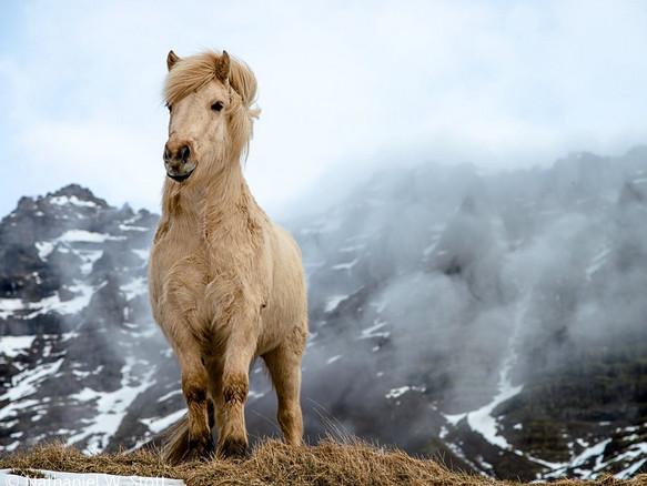Исландская лошадь 1
