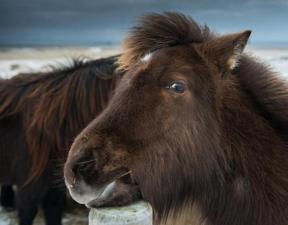 Исландская лошадь 2