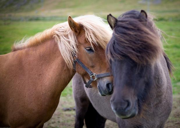 Исландская лошадь 3