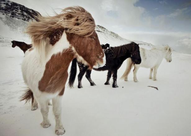 Исландская лошадь 4