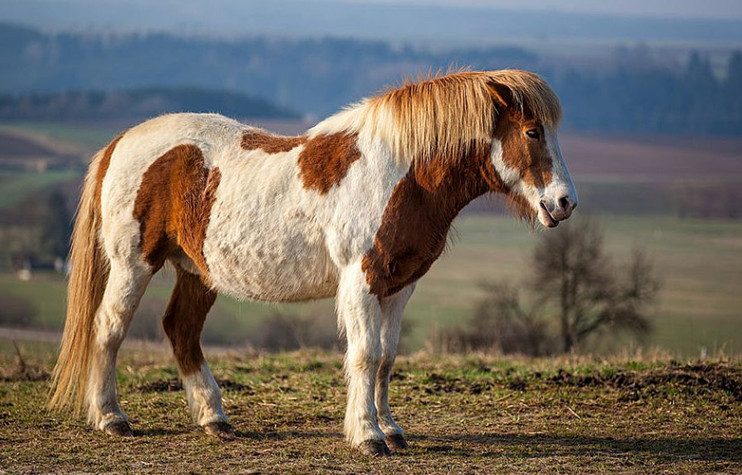 Исландская лошадь с челкой