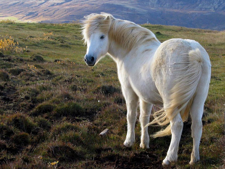 Исландская лошадь в горах