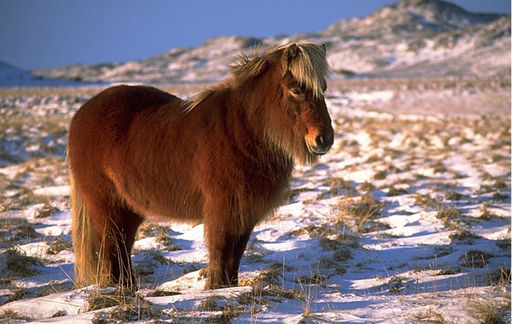 Исландская лошадка