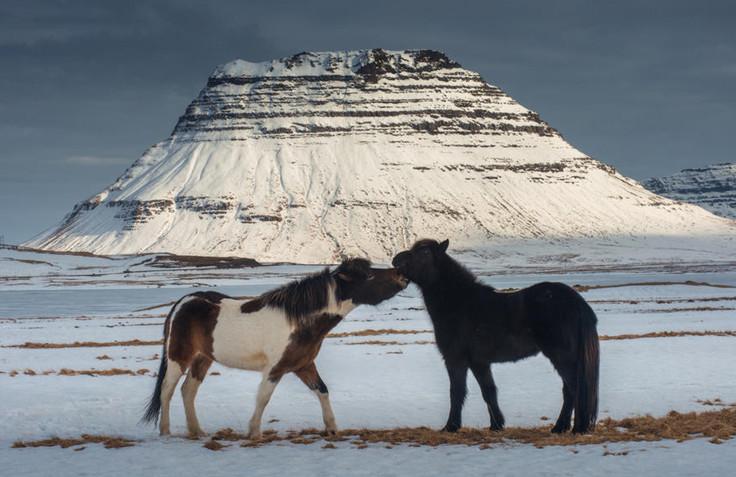Исландские лошади на фоне гор