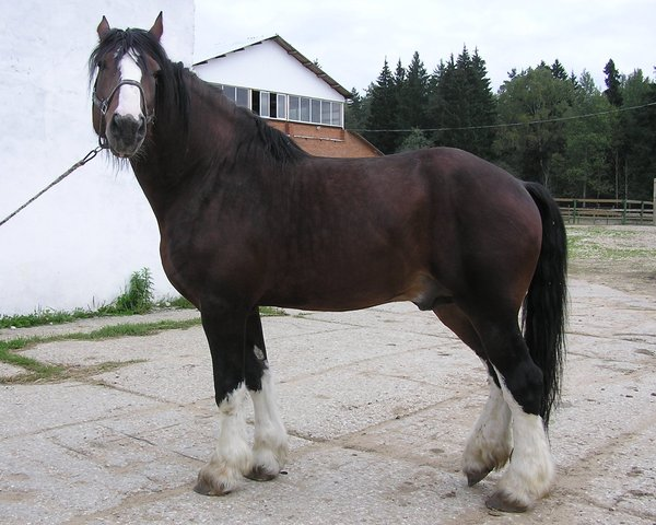 Лошади породы владимирский тяжеловоз 1