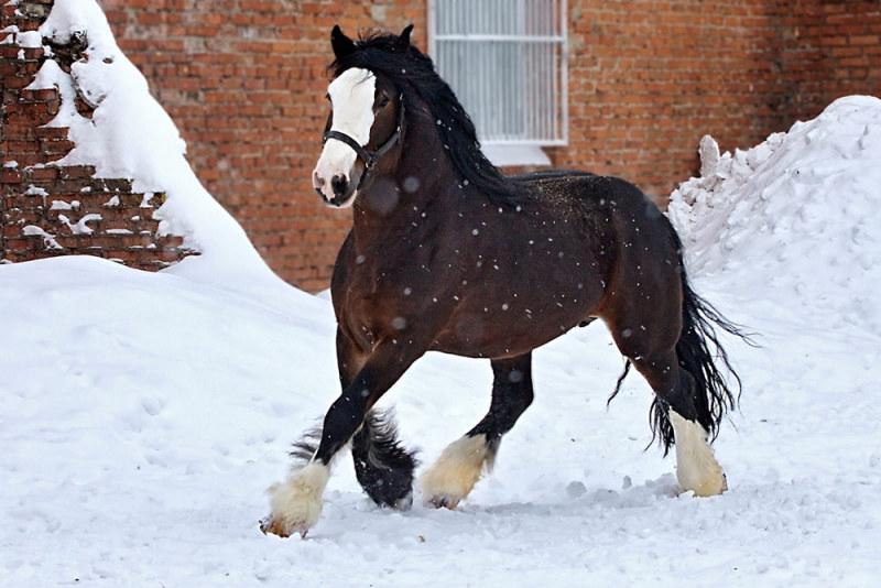 Лошади породы владимирский тяжеловоз 4