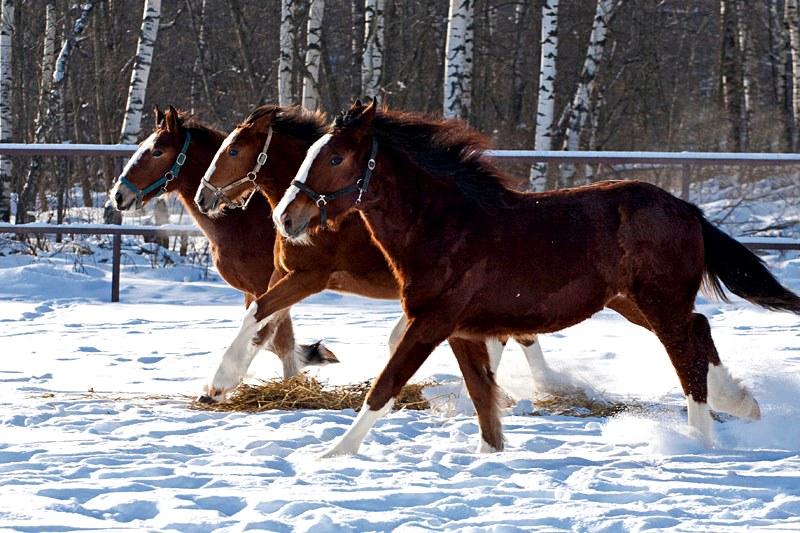 Лошади породы владимирский тяжеловоз
