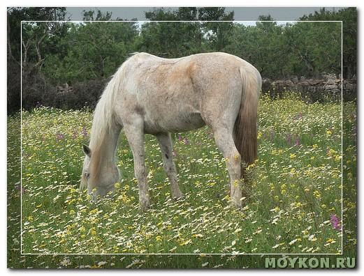 Балеарская лошадь