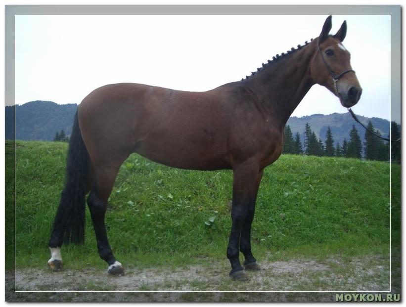 Баварская лошадь