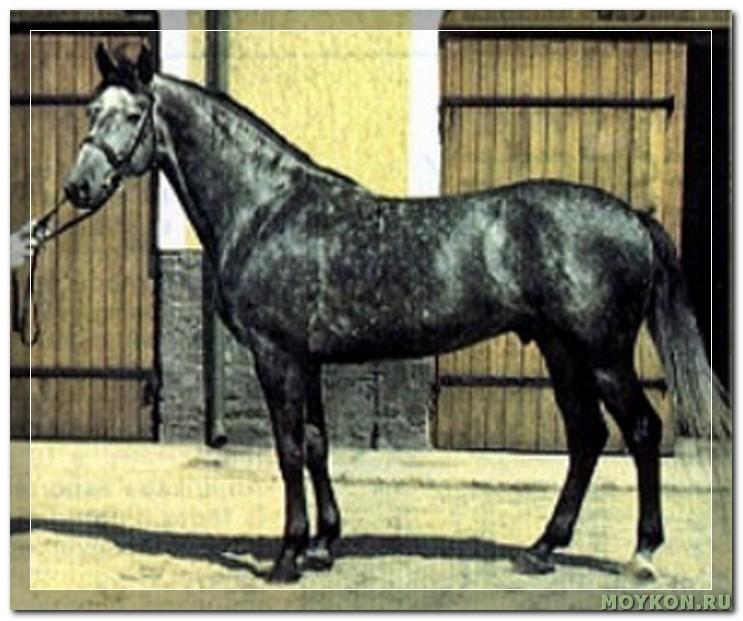 Кишбер лошадь