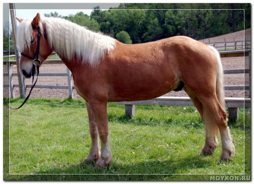 Гафлингерская лошадь