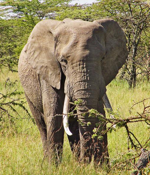 слон иноходец