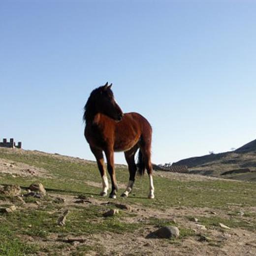 Дикая монгольская лошадь