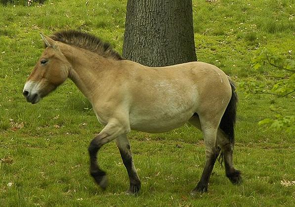 Монгольская лошадь 1