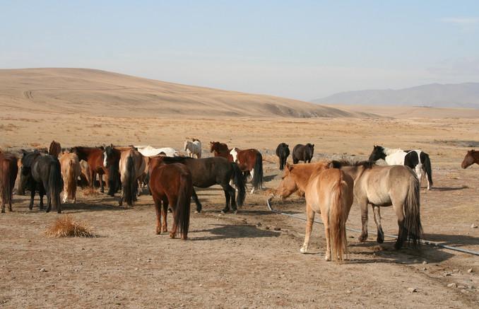 Монгольская лошадь 3