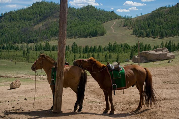 Монгольские лошади на привязи