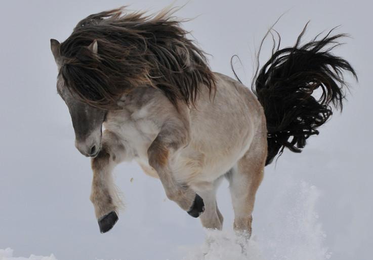 Свободная якутская лошадь