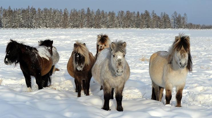 Табун якутских лошадей