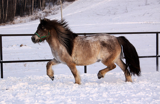 Якутская лошадь 1