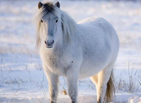 Якутская лошадь 2