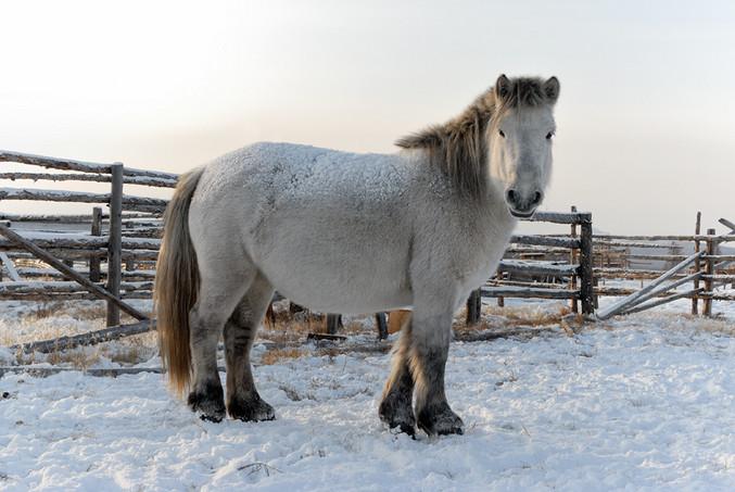 Якутская лошадь 3