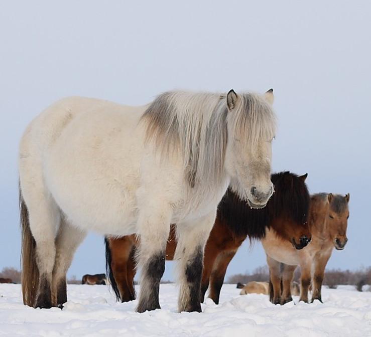 Якутские лошади в природе