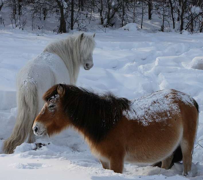 Якутские лошади в снегу
