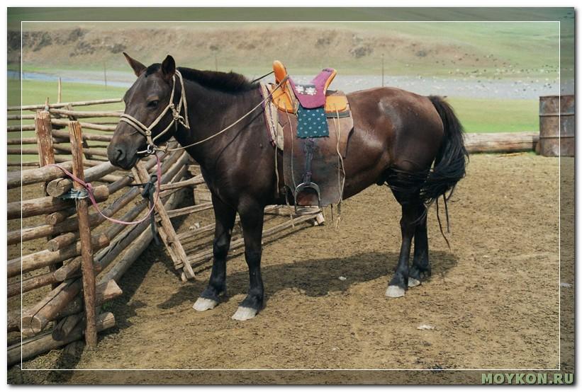 Монгольская порода лошади