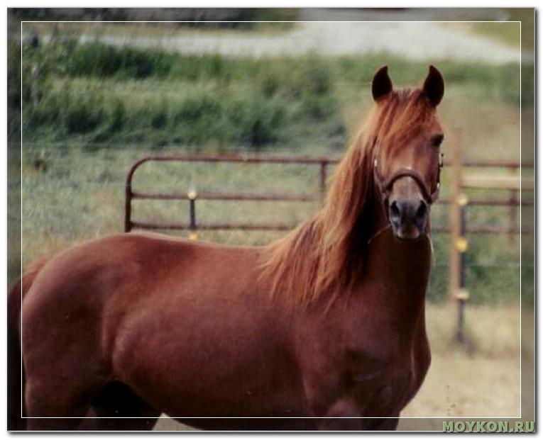 Порода лошади морган