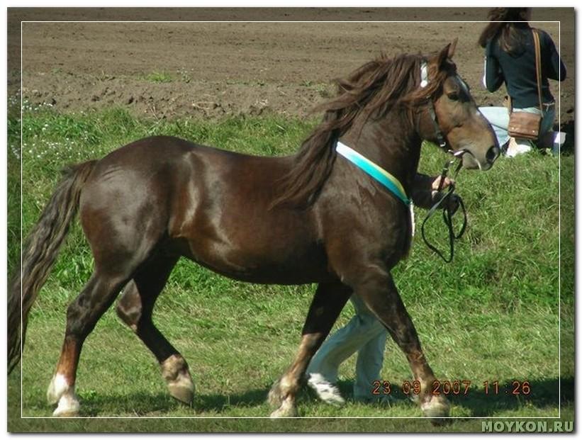 Новоалександровская лошадь