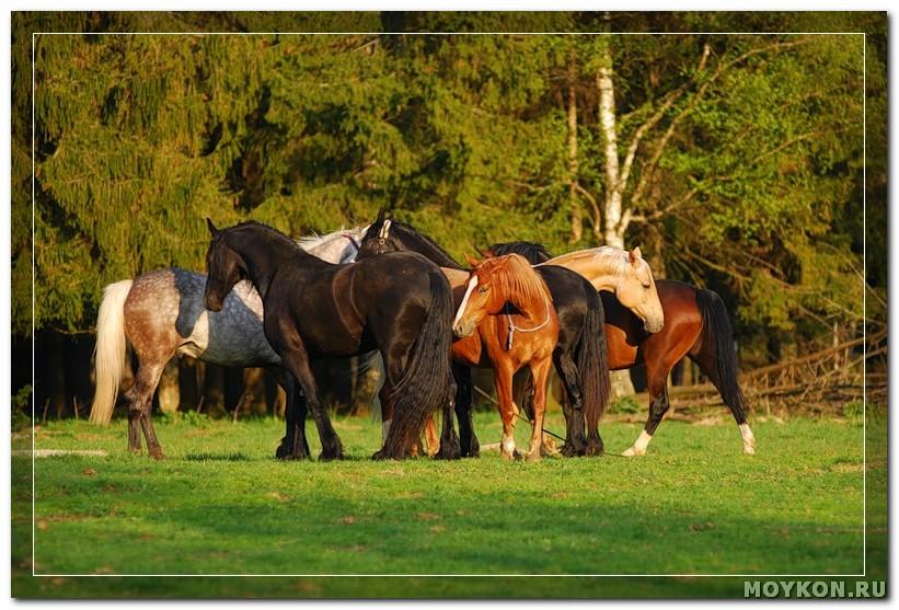 Табунный способ спаривания лошадей