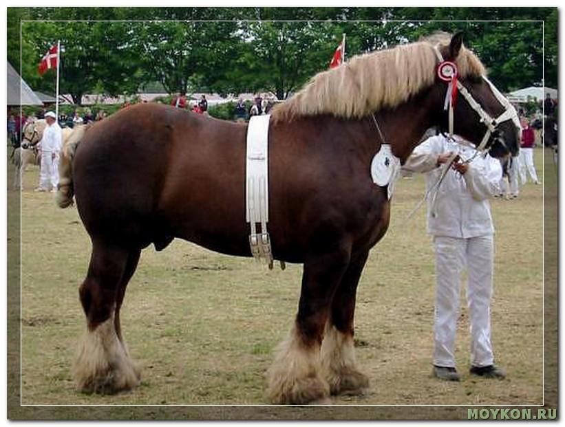 Ютландская лошадь