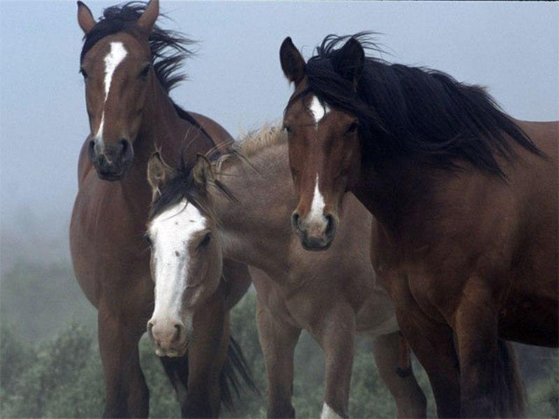 Чилийская лошадь