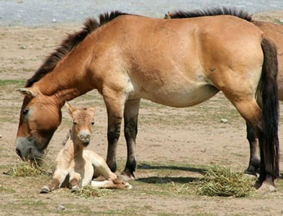 фото - лошадь пржевальского с жеребенком