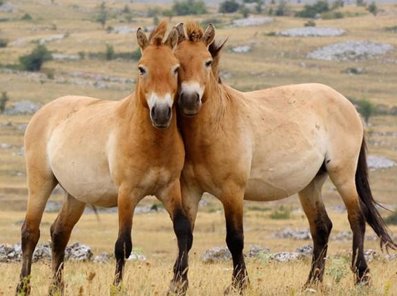 фото - лошади пржевальского позируют