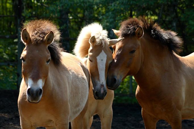 фото - милые лошади пржевальского