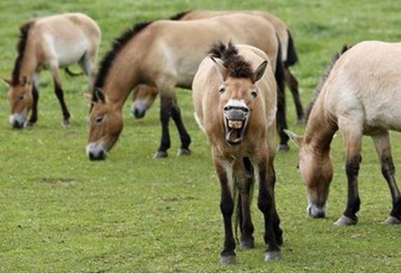 фото - табун лошадей пржевальского