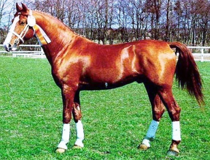 Фредериксборгская лошадь