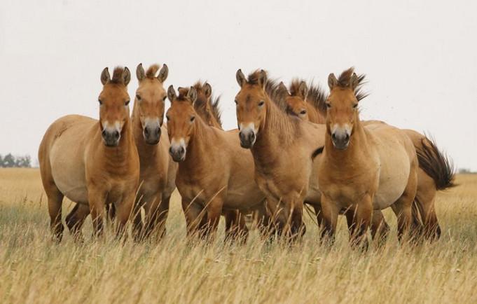 лошади пржевальского в природе