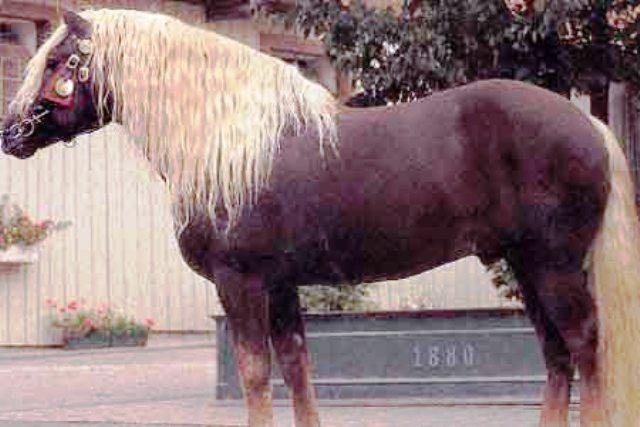 Пицгауская лошадь