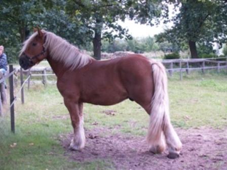 Шленгерская лошадь