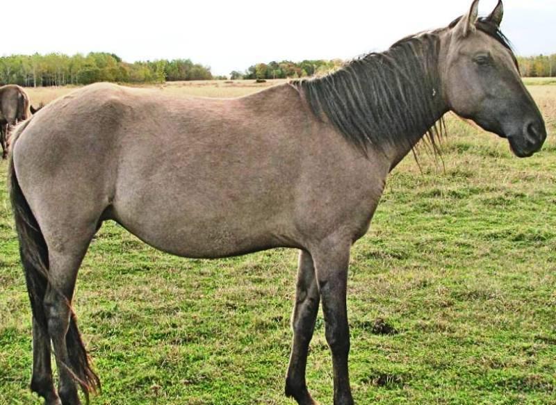 Порода лошади Соррайя