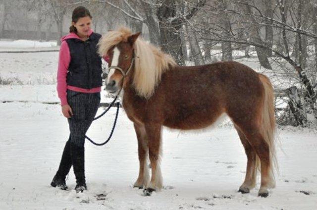 Бельгийский верховой пони