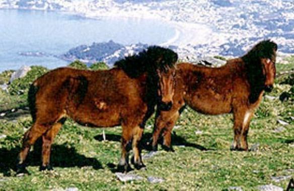 Галицийский пони