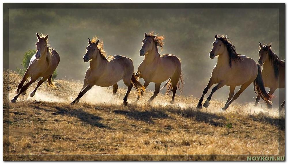 Дикие лошади табунами