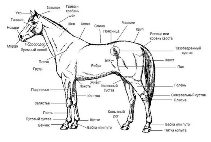 Стати лошади