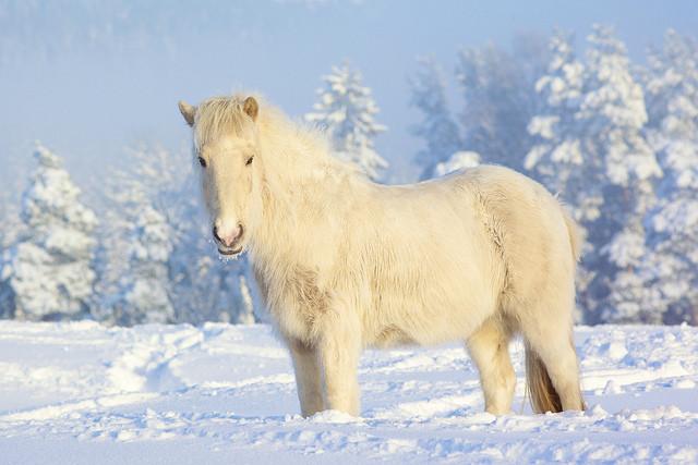 Красивые белые пони