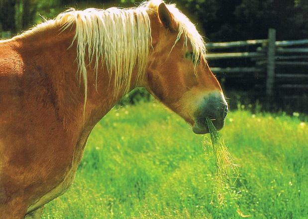 Конь ест траву