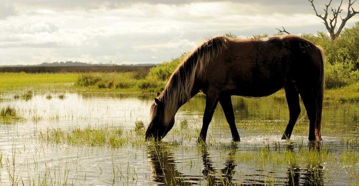 Лощадь пьет воду