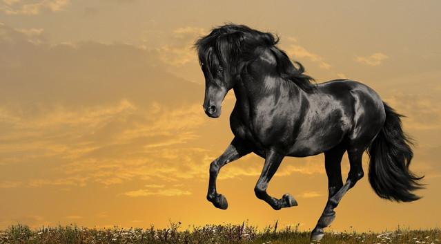 чёрные лошади фото